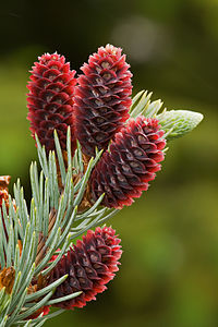 Young cones of a Colorado Blue Spruce (Picea pungens)