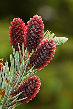 Colorado Blue Spruce cones