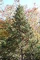 Picea asperata - Quarryhill Botanical Garden - DSC03606.JPG