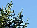 Picea orientalis - Doğu Ladini - Oriental Spruce 02.JPG