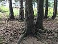 Picea orientalis - Oriental Spruce 03.jpg