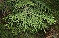 Picea orientalis 1.jpg