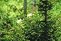 Picea rubens (red spruce) (Clingmans Dome, Great Smoky Mountains, North Carolina, USA) 2 (37011116755).jpg