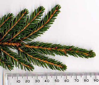 Picea orientalis - Image: Picori 1