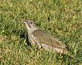 Picus viridis sharpei 052.jpg