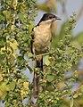 Pied Cuckoo Clamator jacobinus Juvenile by Dr. Raju Kasambe DSCN2857 (6).jpg