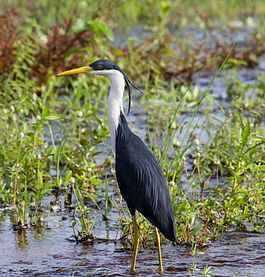Pied Heron in breeding plumage - Fogg Dam - Middle Point - Northern Territory - Australia.jpg