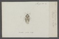 Piesma - Print - Iconographia Zoologica - Special Collections University of Amsterdam - UBAINV0274 041 02 0014.tif
