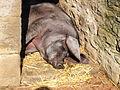 Pig, Beamish Museum, 28 September 2011.jpg
