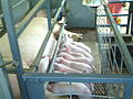 Piglets Nursing in a Farrowing Crate.jpg