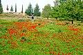 PikiWiki Israel 18960 Anemones in Beeri forest.jpg
