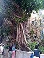 PikiWiki Israel 2593 Ficus benjamina עץ פיקוס.JPG