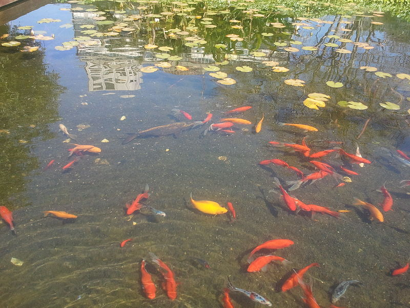 דגי זהב