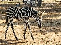 PikiWiki Israel 53066 wildlife animals.jpg