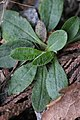 Pilosella officinarum 114151157.jpg