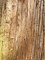 Pinales - Cryptomeria japonica - 4.jpg