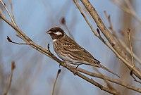 Pine Bunting (Emberiza leucocephalos) - Цагааншанаат хөмрөг (15617685422).jpg