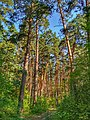 Pine forest of Hetmanskyi National Nature Park.jpg