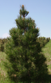 Pine in christmas tree plantation.png