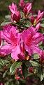 Pink Azalea Blossom (48839366792).jpg