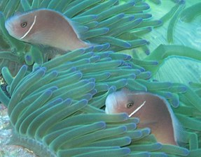 Amphiprioninae - Wikipedia