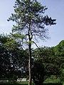 PinusTabulaeformis3.jpg