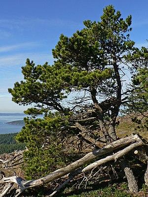 Pinus contorta - Pinus contorta subsp. contorta in Anacortes Community Forest Lands, Washington