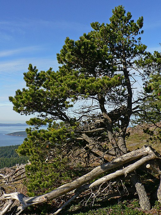 Pinus contorta 28263