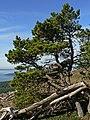 Pinus contorta 28263.JPG
