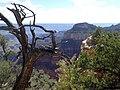 Pinus edulis kz15.jpg