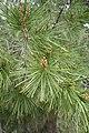 Pinus halepensis kz22 (Morocco).jpg
