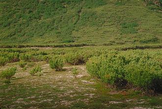 Pinus pumila - Pinus pumila in natural habitat, eastern Siberia