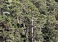 Pinus sylvestris hamata, Giresun 2017-07-02 01-3.jpg