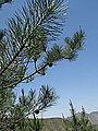 Pinus tabuliformis foliage, near Beijing.jpg