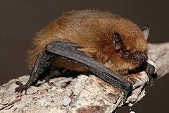 240px pipistrellus pygmaeus01