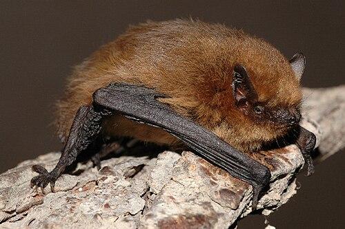 500px pipistrellus pygmaeus01