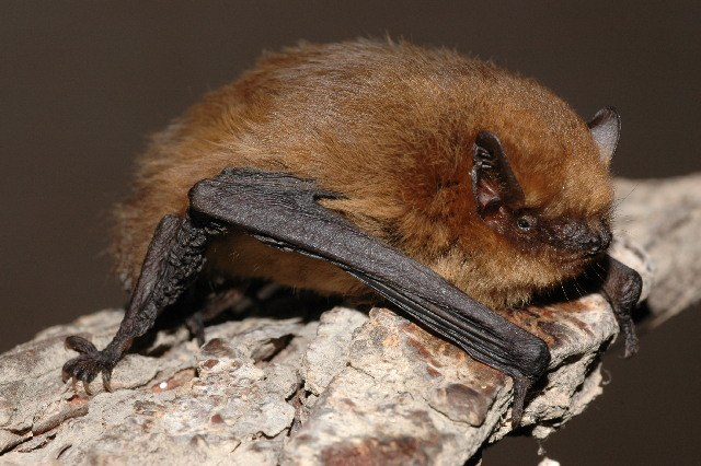 Pipistrellus pygmaeus01