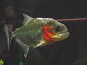 Piranha-serrasalmus manueli 01.jpg