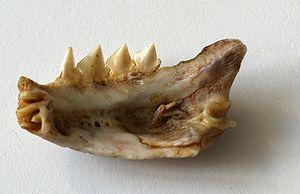Piranha - Jawbone of Pygocentrus nattereri