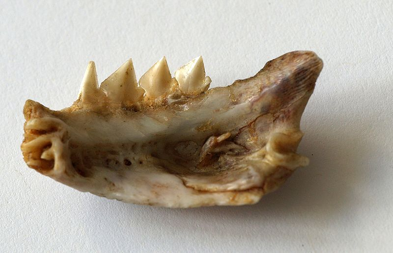 "Red-bellied Piranha Jawbone"" width="