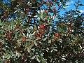 Pistacia lentiscus g2.jpg