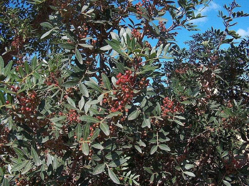File:Pistacia lentiscus g2.jpg