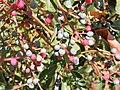 Pistacia terebinthus. Carnapiu blanqueru (frutos).jpg