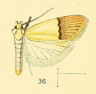 <i>Odites</i> genus of insects