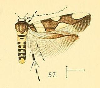 <i>Macrobathra</i> genus of insects
