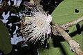 Plants Syzygium Flower IMG 8291.jpg