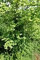 Platanus orientalis kz03.jpg