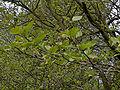 Platanus xhispanica'Pyramidalis'.jpg