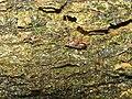 Platybunus pinetorum with mites 20090525 83.jpg