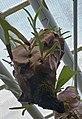 Platycerium vassei, Jardín Botánico de Múnich, Alemania, 2013-01-27, DD 01.JPG